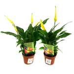 Planta in ghiveci decorativa Spathiphyllum Easter Special