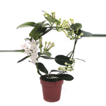 Floare Stephanotis Floribunda 12 x 45 cm