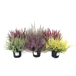 Planta decorativa Calluna Garden Girls Summerline