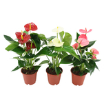 Planta decorativa Anthurium mix