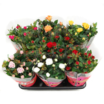 Planta decorativa Rosa Mix (Trandafir)